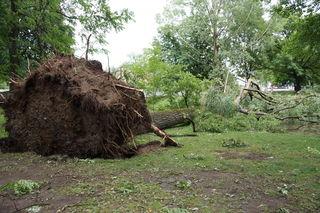 Beim Ledererbach in Leibnitz wurden riesige Bäume entwurzelt.