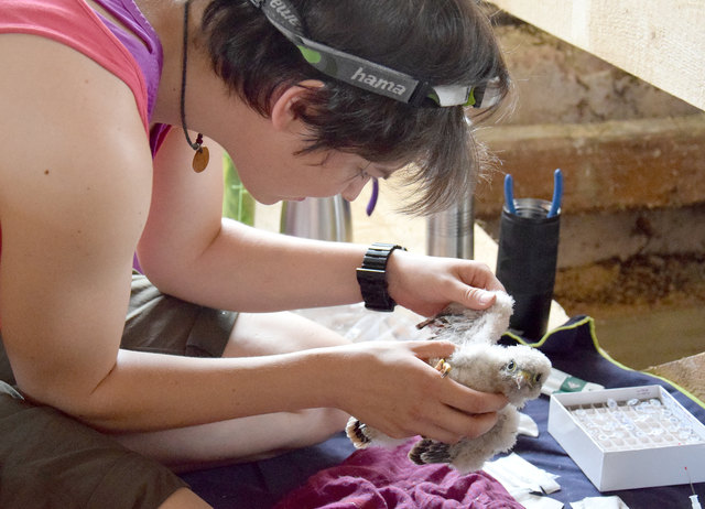 Laura Werner beim Untersuchen eines von fünf Falkenbabys