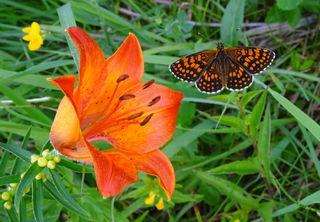 Eine der schönsten, auffälligsten Blumen im Mariazeller Land bzw. in den Türnitzer Alpen ist derzeit die Feuer-Lilie.