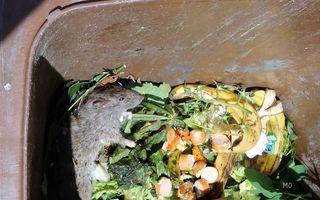 Ratten in der Biotonne