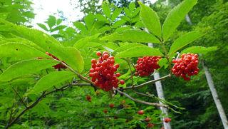 Roter Holler, Trauben-Holunder, Berg-Holunder oder Hirschholder