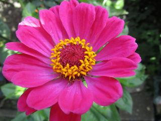 http://www.gartendialog.de/gartenpflanzen/sommerblumen/zinnien-pflege.html