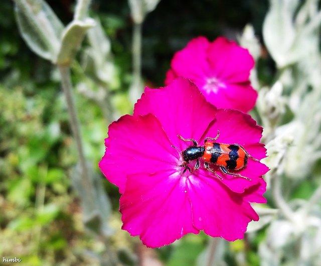 Der Gemeine Bienenkäfer ist ein Käfer aus der Familie der Buntkäfer. Alternative Trivialnamen sind Immenkäfer, Immenwolf oder Bienenwolf. Die Käfer erreichen eine Länge von acht bis 15 Millimeter.