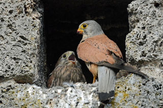 Beide Eltern kümmern sich fürsorglich um ihren Nachwuchs. Hier der Vogelvater.