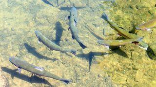 An rund 50 Messstellen in Niederösterreichs wird die Wassertemperatur mit einem Echtzeitsystem gemessen. Bei Forellengewässern liegt der Alarmwert bei 22 Grad Celsius, bei Gewässern mit karpfenartigem Fischbestand bei 28 Grad Celsius.