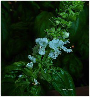 Das Basilikum hat wunderschöne Blüten