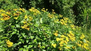 Der Rainfarn wurde früher gegen Wurm-Parasiten verwendet (Wurmkraut).
