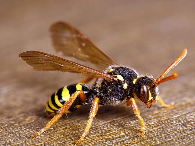 Wespe, gefährlich aber auch nützlich