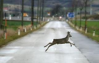 Achtung, Wildwechsel: In den kommenden Monaten die Geschwindigkeit anpassen.