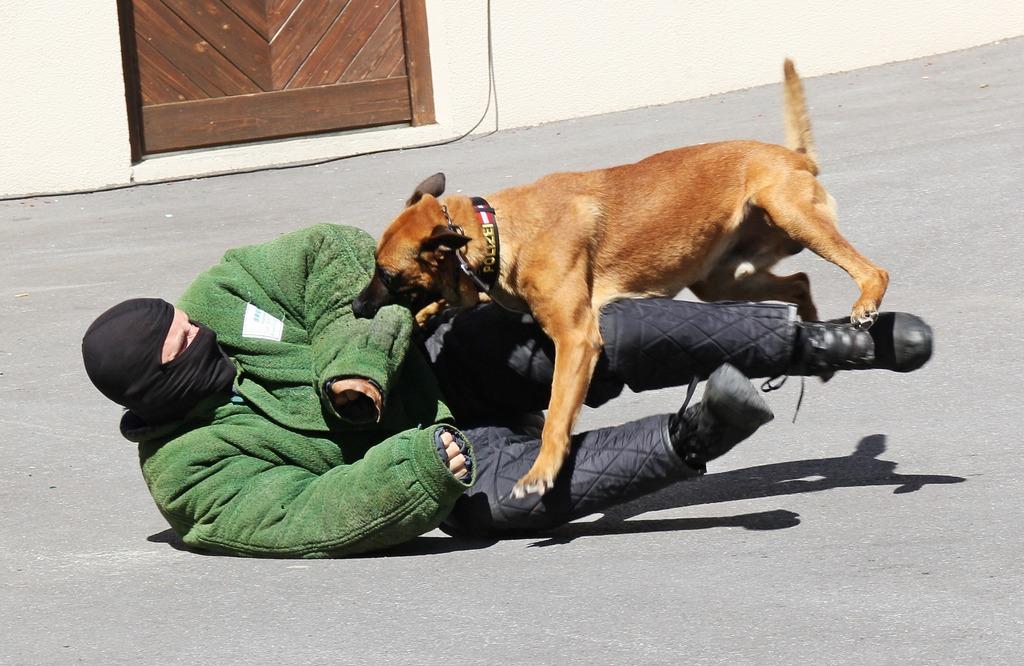 Bomben und Sprengmittelspürhund Yuma überwältigt mühelos den Täter