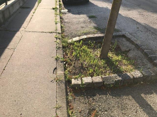 Was haben die Gärtner der MA 42 eigentlich gegen die Schwertlilien in den Baumscheiben.