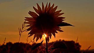 Die Sonnen geht unter, die Sonnenblume bleibt und wartet auf den nächsten Tag.