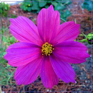 Diese Blume suchte sich unseren Garten zum Wachsen aus und erfreut uns mit schönen Blüten.