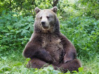 Austria, Arbesbach   2017 06 01   Bear Brumca at BEAR SANCTUARY Arbesbach.