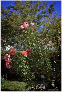 Die Rosen blühen noch immer üppig