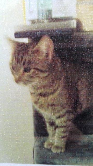 """Gesucht wird die getigerte, eher schmächtige Katze """"Zizibe"""". Wenn man ihr näher kommt, kann man sehen, dass sie getrübte Augen hat.   Kontakt-Telefonummer: 0699/ 19771711"""