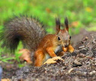 Eichhörnchen sind gerade im Herbst auch im Stadtgebiet schon auf intensiver Nahrungssuche.