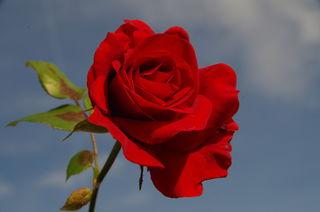 meine Rose