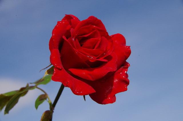 meine Rosenblüte