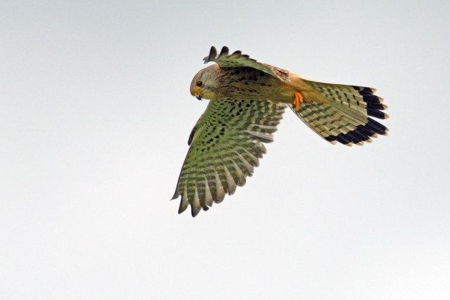 Am ehesten lassen sich Falken während ihres typischen Rüttelfluges aufs Bild bannen!