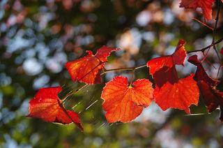 bunte Blätter im Wald mit Altweibersommerzier ;-)