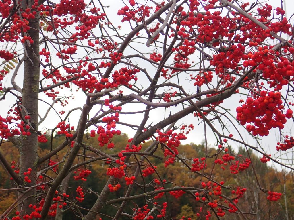 Geliebte Rote Beeren am Baum - Leopoldstadt @CV_29