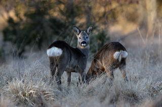 Das Wildbret stammt von Tieren aus der freien Natur und ist somit das gesündeste Fleisch im herkömmlichen Sinn.