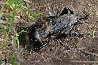Mit einem langen Grashalm und ausreichender Geduld läßt sich die Feldgrille aus der Wohnröhre kitzeln, um sich dem lästigen Eindringling zu stellen. Nun kann dieses stattliche Insekt auch aus der Nähe kennengelernt werden. ( Entschuldige, falls ich die Grille schon mal gezeigt hab ) . Machs GROSS ! ! !