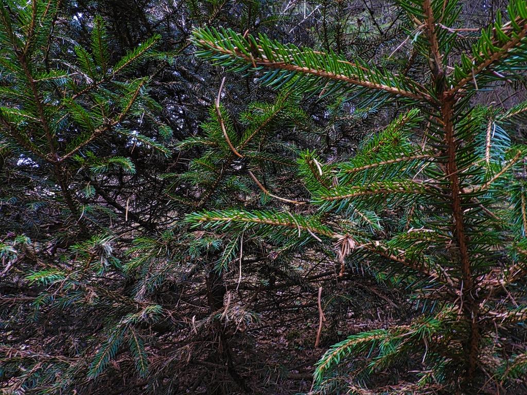 Im Wald bereitet sich die Natur auch auf Weihnachten vor... - Lungau