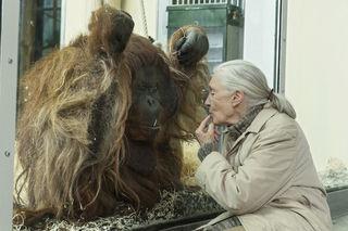 Verhaltensforscherin Jane Goodall zu Besuch bei den Orang-Utans.