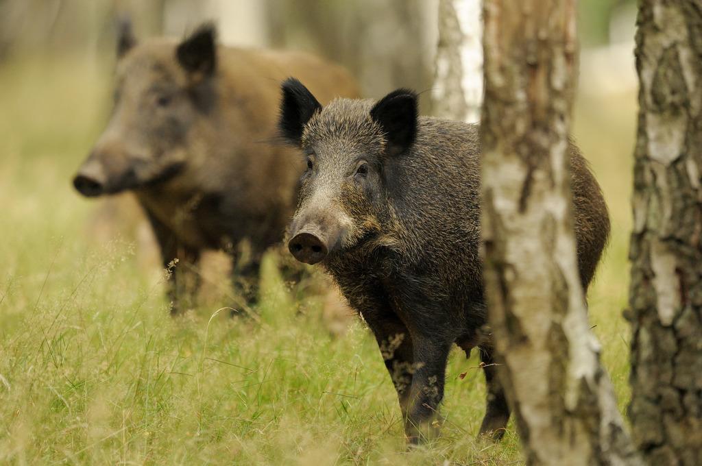 In Graz wird gegrunzt: Wildschweine erobern auch in der Murmetropole immer mehr den urbanen Raum.