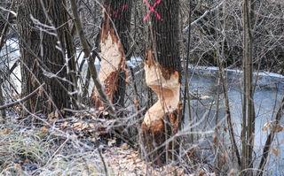 So schaut's aus, wenn ein Profi aus dem Lager der Nagetiere den Baumbestand bearbeitet!