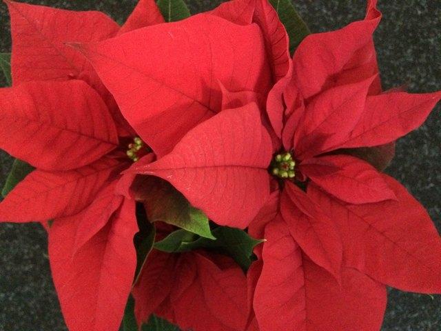 Der Weihnachtsstern wird auch Adventstern genannt.