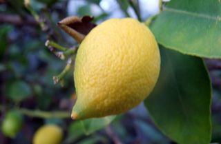 Zitrone am Bäumchen