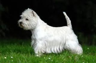 Showhund in Ausstellungspose quelle:wiki