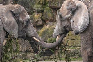 Delikatesse am Winterspeiseplan der Elefanten: Die Fichte - der Christbaum von Schönbrunn.