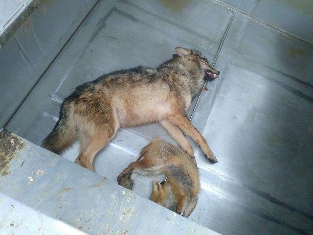 Der Wolf landete vorerst bei der Tierkörperverwertung in Landscha, er kommt allerdings jetzt nach Wien zur Untersuchung.