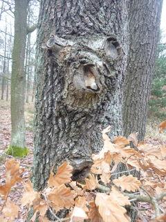 Auch Bäume zeigen manchmal ihr Gesicht. Man muss nur achtsam durch die Natur gehen.