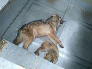 Untersuchungen ergaben, dass in Ehrenhausen tatsächlich ein Wolf vom Zug erfasst wurde.