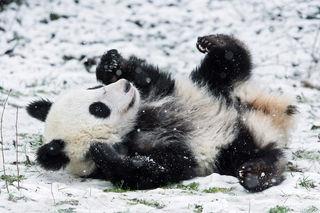 Schnee sorgt beim Pandanachwuchs für beste Laune.