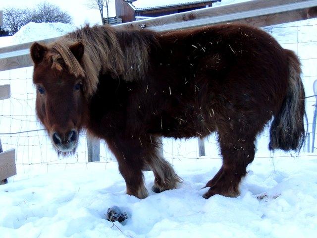 das Shetlandpony ist auch bei Kälte gerne draußen.
