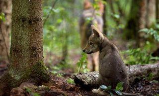Der Wolfsbestand in Mitteleuropa wird sich künftig alle drei Jahre verdoppeln.
