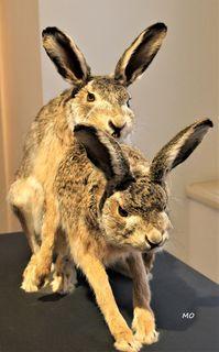 Feldhasen, Ausstellung SEXperten im Joanneumsviertel Graz, Naturkundemuseum, Austria
