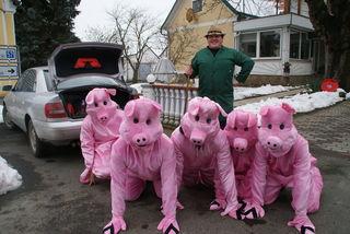Der Schweinebauer mit seinen Ökoschweinchen beim Umzug in Jennersdorf.