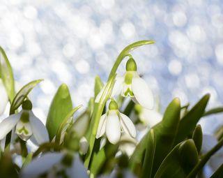 Vorboten für den anstehenden Frühling: Nach und nach zeigen sich in Niederösterreich die ersten Schneeglöckchen. Schickt uns eure Fotos der ersten Frühlingsblumen und gewinnt Karten für die Garten Tulln.