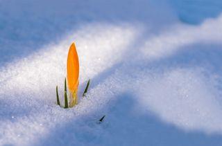 Setzt sich auch im Schneegestöber durch: Krokosse bereiten uns langsam auf den lang erwarteten Frühling vor. Schickt uns eure schönsten Frühlingsblumen-Fotos und gewinnt 5x2 Tickets für die Garten Tulln.