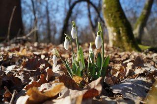 Zart und unschuldig sprießen die ersten Schneeglöckchen aus den Böden Niederösterreichs. Macht jetzt mit bei unserem Frühlingsblumen-Foto-Gewinnspiel und gewinnt Eintrittskarten für die Garten Tulln.