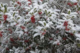 Am Palmsonntag wurden die Zweige des Ilex verwendet – als immergrüne Zweige waren sie Symbol für Unsterblichkeit und Wiedergeburt. Die Germanen sahen in den Ilexzweigen die Chance gute Waldgeister anzulocken. Die Druiden schmückten die  Häuser um die Bewohner vor bösem Zauber zu bewahren und die guten Geister anzulocken.