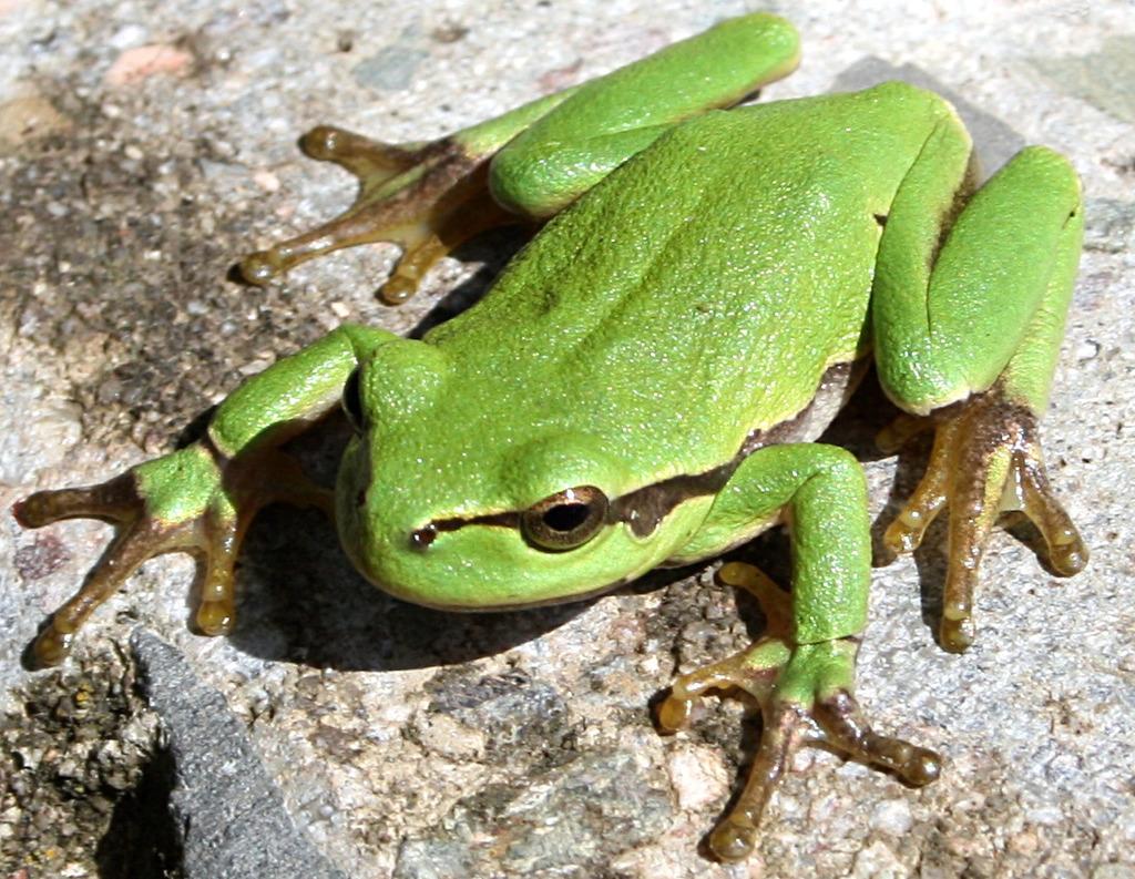 Glyphosat wird verdächtigt unter anderem für das weltweite Amphibiensterben – hier ein Laubfrosch – verantwortlich zu sein.