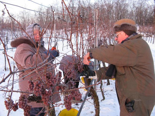 Dieses Bild wird man heuer nicht sehen. Der fehlende Frost (- 7 °C), der bei der Ernte benötigt wird, verhinderte den Eiswein.             Foto: Privat